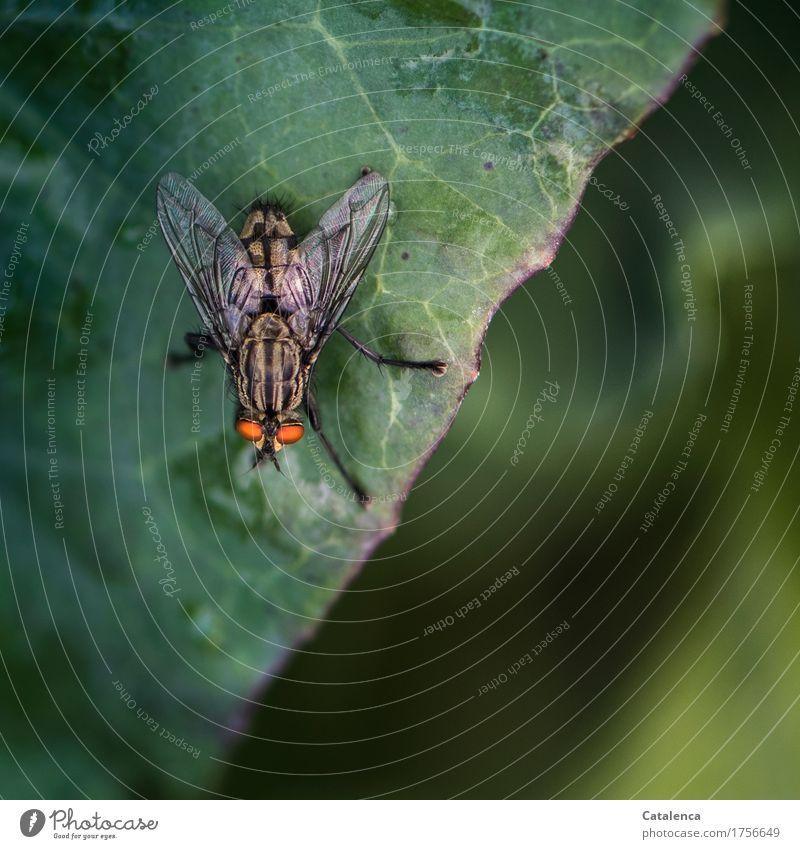 Fliege Natur Pflanze grün Blatt Tier schwarz Umwelt Garten fliegen orange glänzend gold beobachten Wandel & Veränderung Insekt krabbeln