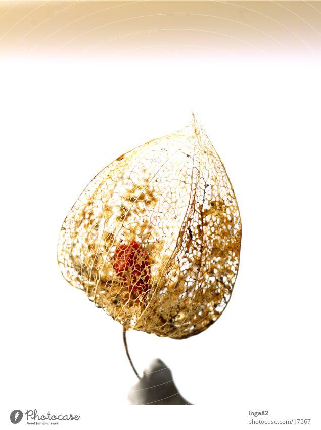 Tollkirsche01 Natur Pflanze Tollkirsche