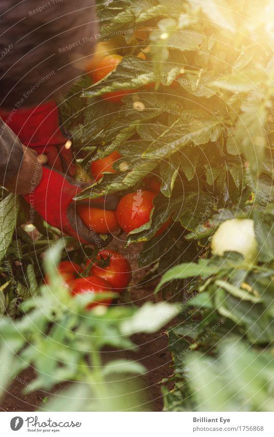 was rot ist wird gepflückt Arbeit & Erwerbstätigkeit Landwirtschaft Forstwirtschaft Mensch Hand 1 Natur Sonnenlicht Nutzpflanze Feld wählen saftig achtsam