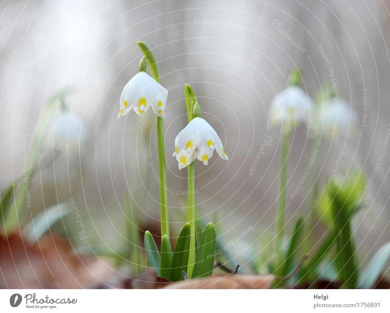 Blümchen für Ini... Umwelt Natur Pflanze Frühling Schönes Wetter Blume Blatt Blüte Wildpflanze Märzenbecher Wald Blühend stehen Wachstum ästhetisch