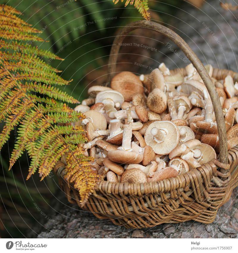 Pilzsaison beginnt Umwelt Natur Pflanze Herbst Blatt Wildpflanze Farn Farnblatt Baumstamm Wald Korb Holz liegen stehen Wachstum außergewöhnlich Duft klein