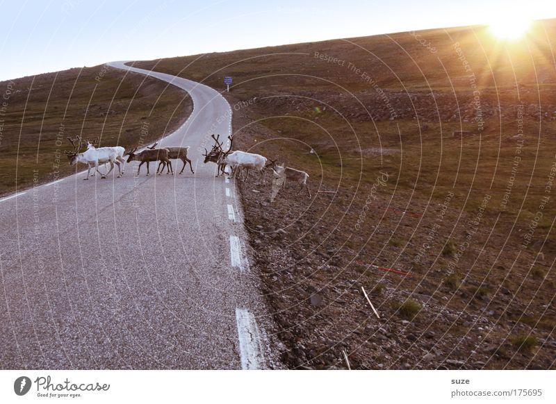 Überläufer Umwelt Natur Landschaft Pflanze Tier Erde Sonne Sonnenlicht Klima Fjäll Wiese Hügel Straße Wege & Pfade Nutztier Wildtier Rentier Tiergruppe Herde