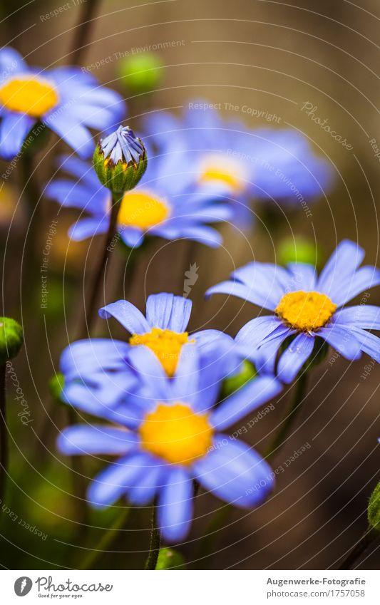 Sommerblume Natur Pflanze Blume Blüte Gänseblümchen Garten blau Farbfoto Außenaufnahme Nahaufnahme Detailaufnahme Makroaufnahme Textfreiraum oben Tag