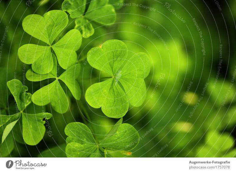 Kleeblatt Pflanze Sommer Blatt Grünpflanze Wiese Wald grün Glück Farbfoto Außenaufnahme Makroaufnahme Textfreiraum rechts Tag Kontrast Unschärfe
