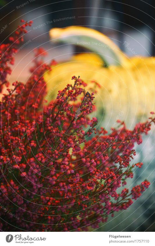 flower power 3 Blume Blumenstrauß Pflanze Farbe rot Blühend Blüte Duft Gärtner Gärtnerei Blumenhändler Floristik Kürbis