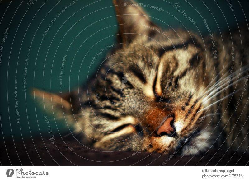 katerstimmung Farbfoto Innenaufnahme Tierporträt geschlossene Augen Haustier Katze Tiergesicht 1 Erholung liegen schlafen träumen niedlich grün ruhig