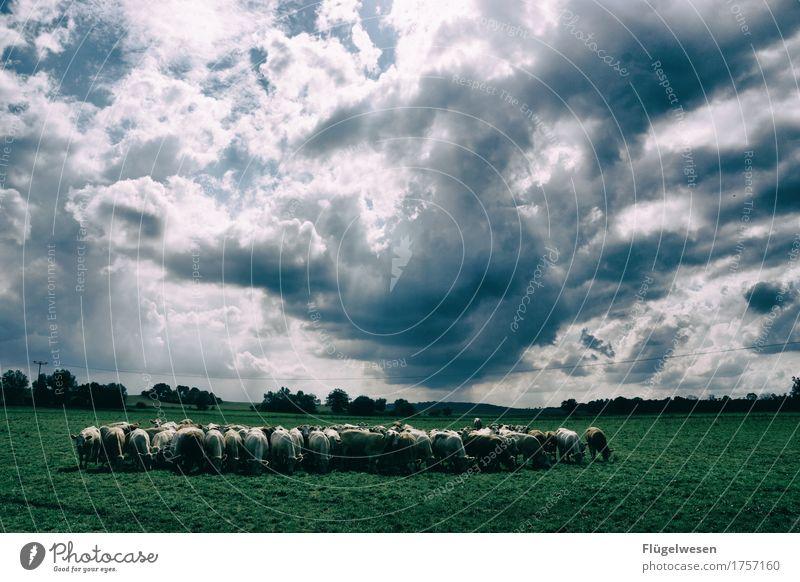 Herdentrieb Lebensmittel Fleisch Milcherzeugnisse Ernährung Essen Umwelt Natur Wolken Sommer Klima Wiese Feld Tier Haustier Nutztier Tiergruppe Gelassenheit Kuh