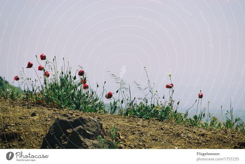 Mohnblumen Ferien & Urlaub & Reisen Tourismus Ausflug Abenteuer Umwelt Natur Landschaft Pflanze Klima Blume Gras Wiese Blühend Golan Israel Mohnblüte Farbfoto
