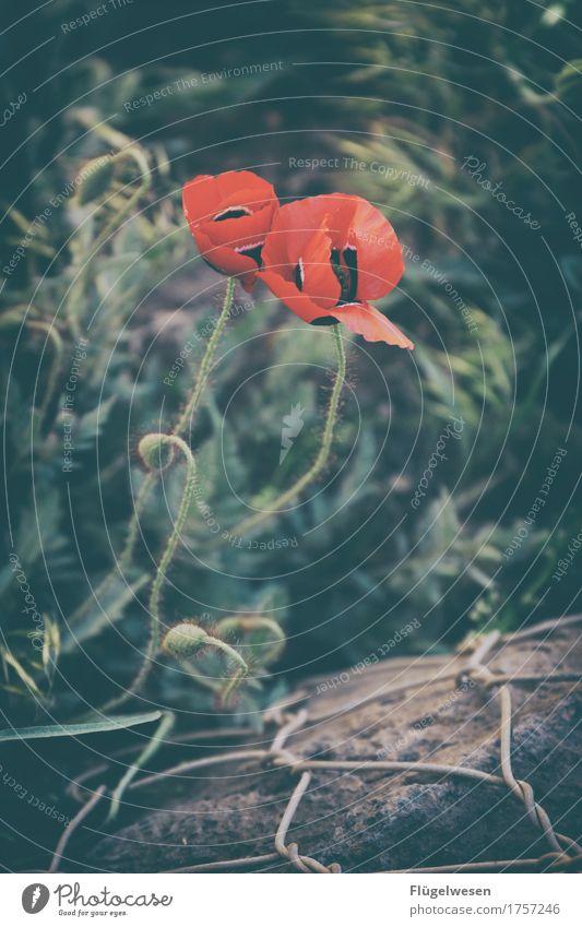 Mohndrahtzaun Ferien & Urlaub & Reisen Tourismus Ausflug Umwelt Natur Landschaft Pflanze Tier Klima Blume Gras Sträucher Moos Blatt Blüte Grünpflanze