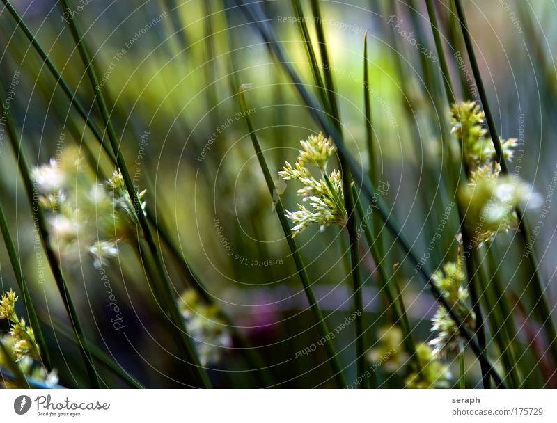 Binsenblüte Natur Blume Gras Blüte Umwelt Wachstum Blühend Schilfrohr Botanik Pflanze Grasland Biologie pflanzlich geblümt Heilpflanzen Spazierstock