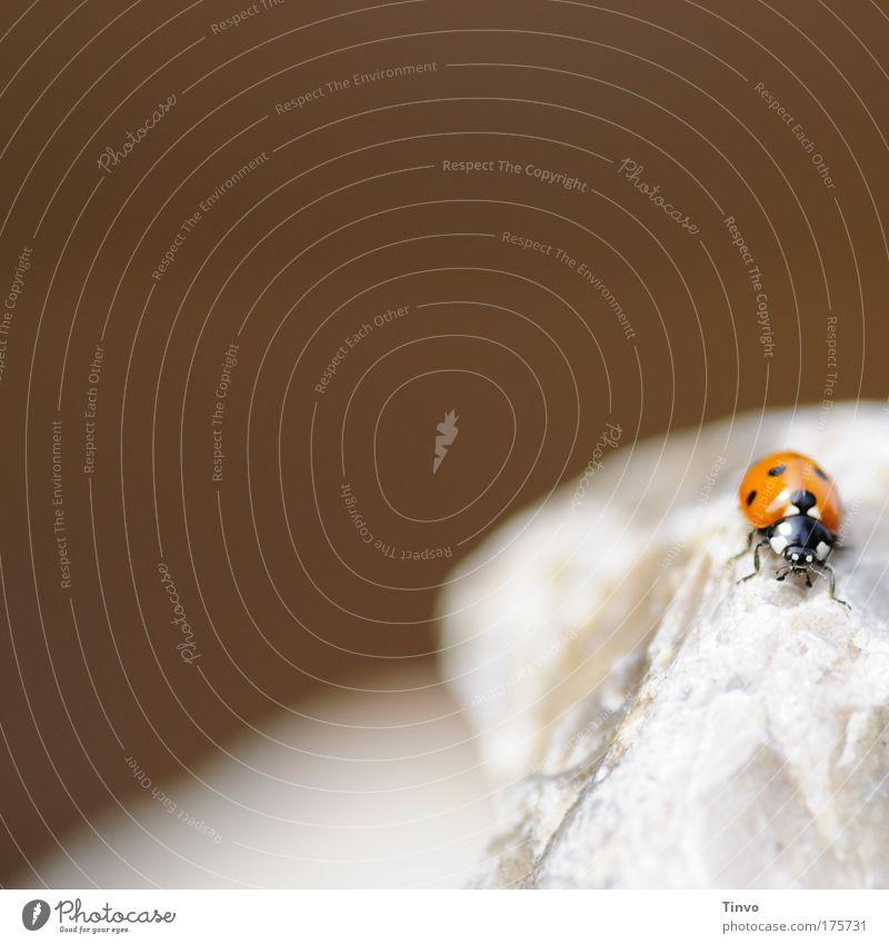 Tagesmenue: Steinlaus satt! Farbfoto Außenaufnahme Nahaufnahme Textfreiraum links Textfreiraum oben Kontrast Tier Käfer 1 klein Marienkäfer Punkt gepunktet rot