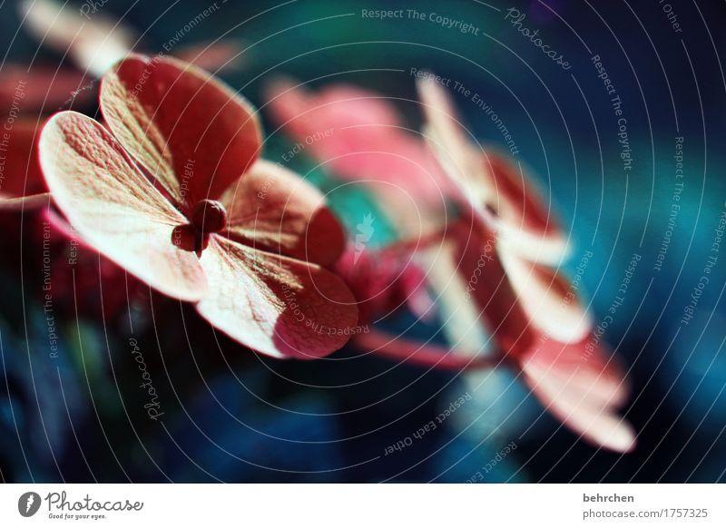 teller Natur Pflanze Sommer Schönes Wetter Blume Blatt Blüte Grünpflanze Hortensie tellerhortensie Garten Park Wiese Blühend Duft schön sommerlich Wärme