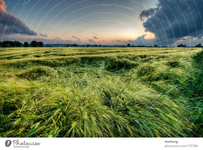 Grashalme im Wind bei Abenddämmerung mit starken Wolken Umwelt Natur Landschaft Pflanze Himmel Gewitterwolken Horizont Sonnenaufgang Sonnenuntergang Sommer