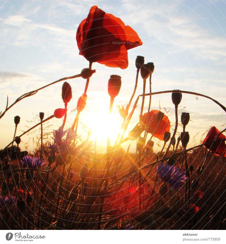 Im Sonnenuntergang Mohn Natur Blumenwiese Himmel blau Pflanze rot Sommer Wolken gelb Wiese Blüte Gras Park Gegenlicht Wärme