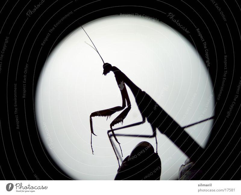 E.T. Gottesanbeterin Insekt Vollmond außerirdisch Verkehr Flugschrecke Außerirdischer