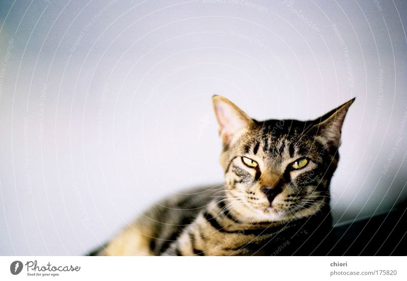 blau schwarz Tier gelb Glück Katze Kunst Coolness authentisch Maske Zoo Haustier