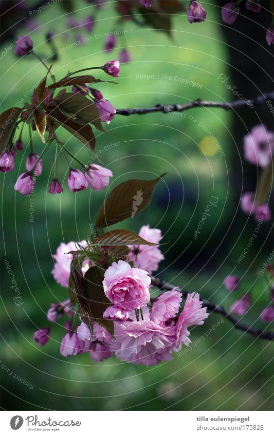 blütenzauber Natur Baum grün Sommer Farbe Leben Blüte Frühling rosa frisch natürlich Kirschblüten Frühlingsgefühle Kirschbaum