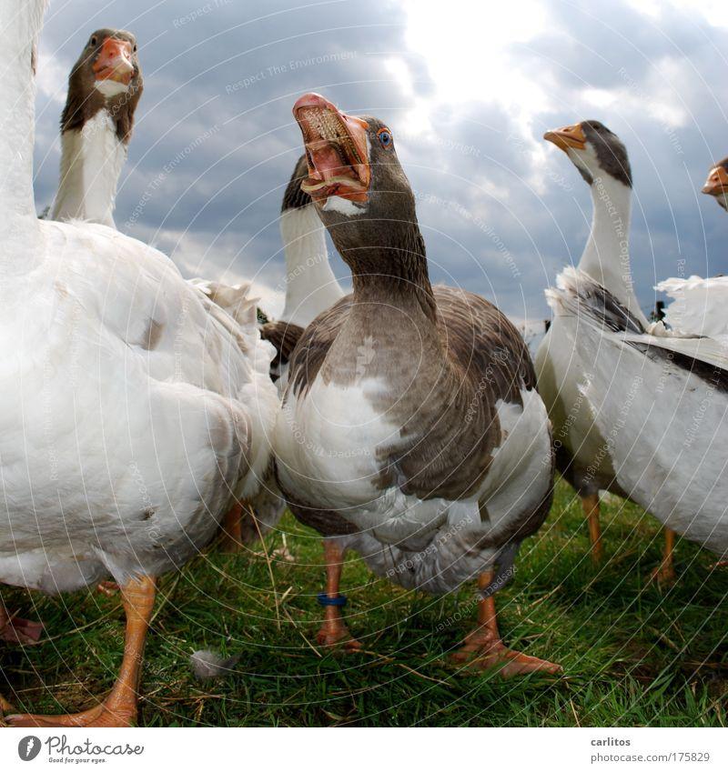 GÄNSEBRATEN ?!?!?!?!? Kannst du vergessen ..... Weitwinkel Tierporträt Wiese Dorf Haustier Flügel Gans Federn Federvieh Tiergruppe beobachten Blick schreien