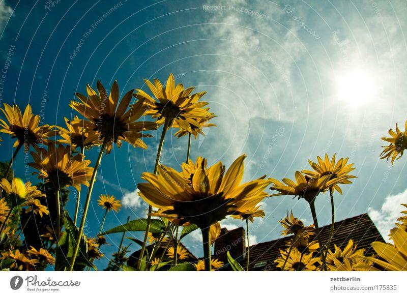 Familie Honecker Himmel Sonne Blume Pflanze Haus Wolken Blüte Dach Blühend Schornstein Margerite Blütenblatt Stauden Korbblütengewächs Astern Sommerblumen