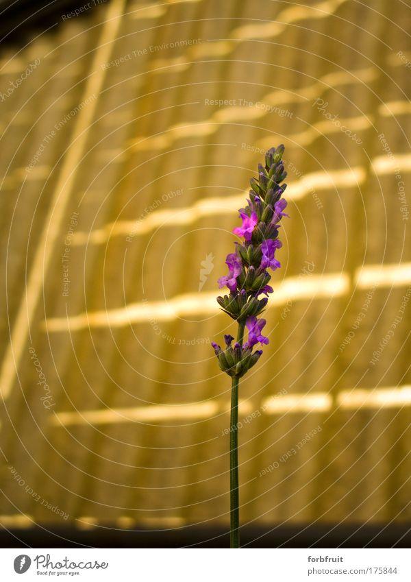 Flora flectata Farbfoto Außenaufnahme Menschenleer Textfreiraum links Textfreiraum oben Morgen Licht Kontrast Sonnenlicht Unschärfe Totale Pflanze Blüte