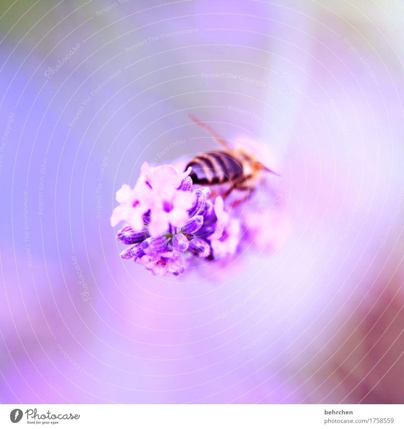 hummelarsch und zwirn... Natur Pflanze Tier Sommer Schönes Wetter Blume Blatt Blüte Lavendel Garten Park Wiese Biene Flügel 1 Blühend Duft fliegen Fressen schön