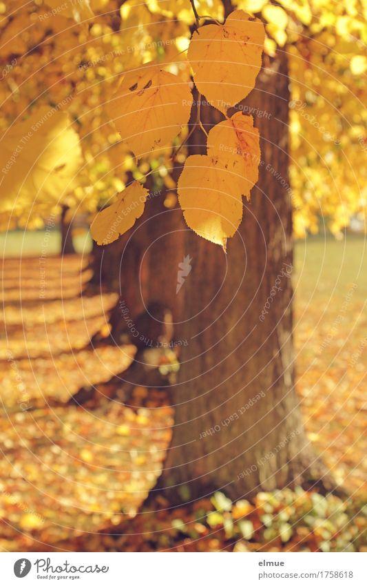 Herbst bei Familie Linde Schönes Wetter Baum Blatt Lindenblatt Baumstamm Ast Baumreihe Park Lebensabend fallen hängen hell trocken gelb gold Glück Lebensfreude