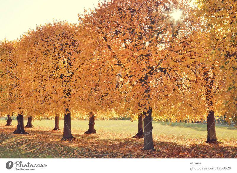 Lindensonne Sonne Herbst Schönes Wetter Baum Blatt Herbstlaub Allee Park goldener herbst Ruhestand blond hell gelb Glück Lebensfreude Romantik schön friedlich
