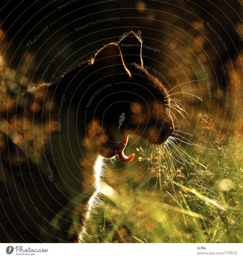 Katzenfratze Katze grün schön rot Pflanze Tier schwarz ruhig gelb Erholung Gras Garten gold warten Sträucher niedlich