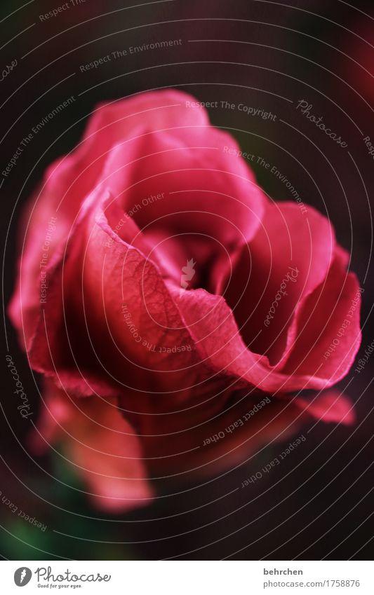 klangfarbe | erpelanzugmachend Natur Pflanze Sommer Baum Blatt Blüte Hibiscus Rose Garten Park Wiese Blühend Duft elegant Kitsch schön Frühlingsgefühle