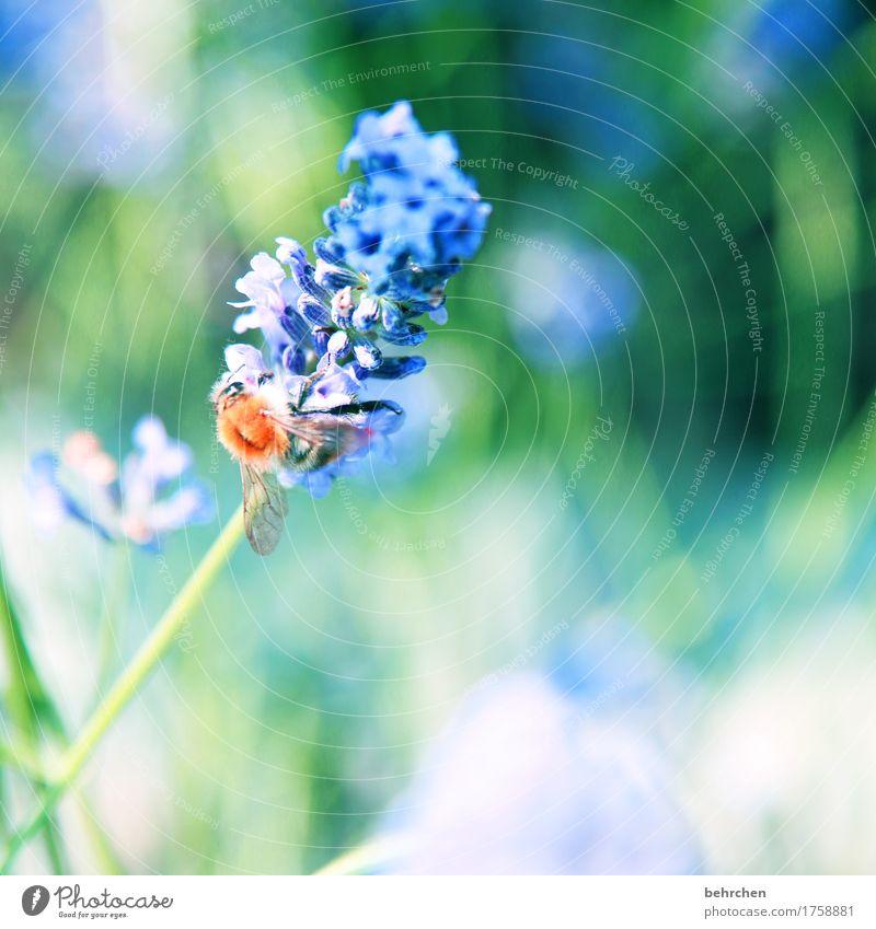 ...WILL... Natur Pflanze Tier Sommer Schönes Wetter Blume Blatt Blüte Lavendel Garten Park Wiese Wildtier Biene Tiergesicht Flügel 1 beobachten Blühend Duft