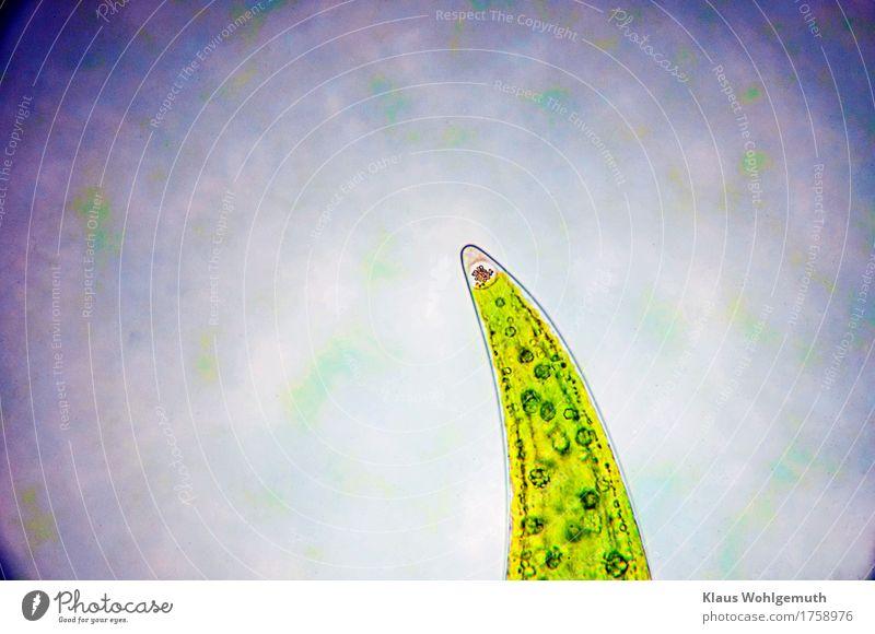 Kein grüner Hai Umwelt Natur Pflanze Sommer Herbst Algen Jochalge Mondsichelalge Schmuckalge Moor Sumpf Teich See Mikroskop Schwimmen & Baden fantastisch blau