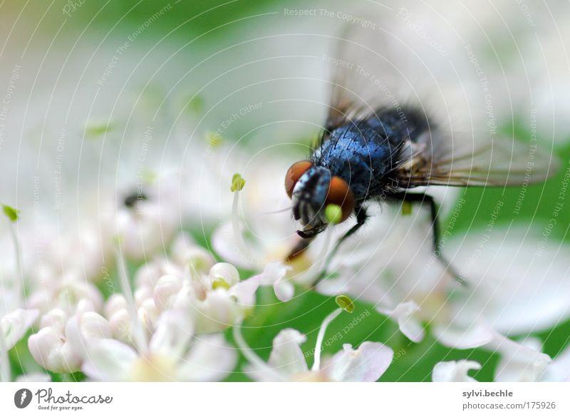 Schönheit ist relativ! Umwelt Natur Pflanze Tier Blüte Wildtier Fliege hässlich blau grün schwarz weiß Appetit & Hunger Durst ungeliebt Flügel Auge durchsichtig
