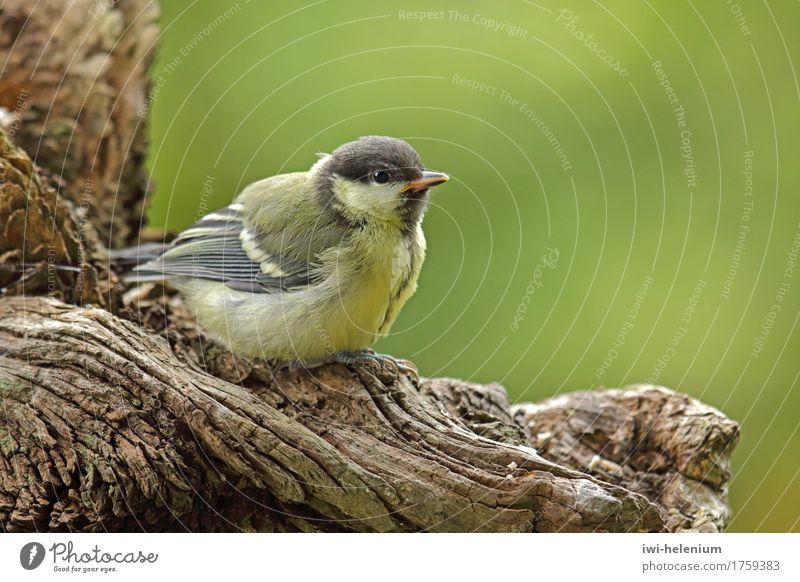 Meisenkind grün weiß Tier schwarz Tierjunges gelb braun Vogel sitzen warten Lebensfreude Neugier Interesse Erwartung