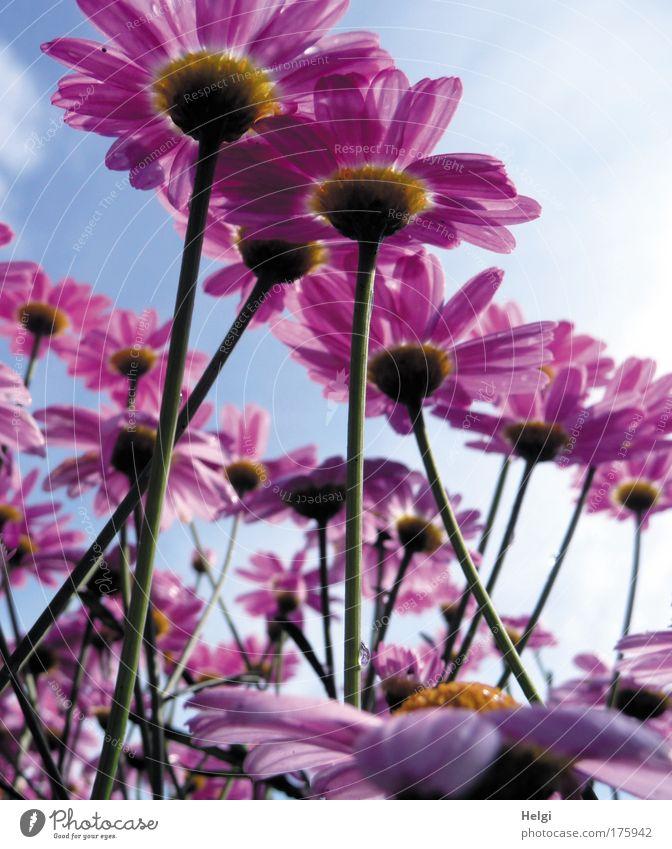 viele lila Blüten aus der Froschperspektive vor blauem Himmel mit Wolken Farbfoto mehrfarbig Außenaufnahme Nahaufnahme Menschenleer Tag Schatten Sonnenlicht