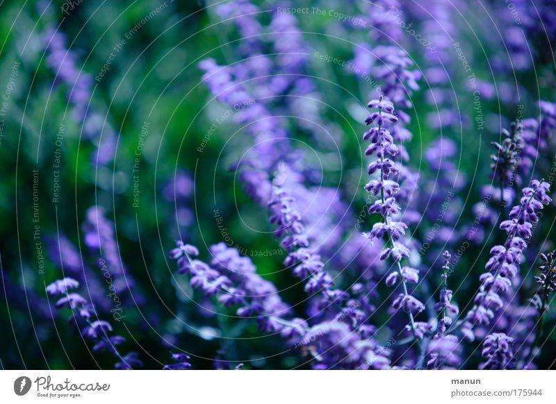 Violetta Natur schön Blume grün Pflanze Sommer ruhig Erholung Blüte Design frisch ästhetisch Sträucher violett natürlich Blühend