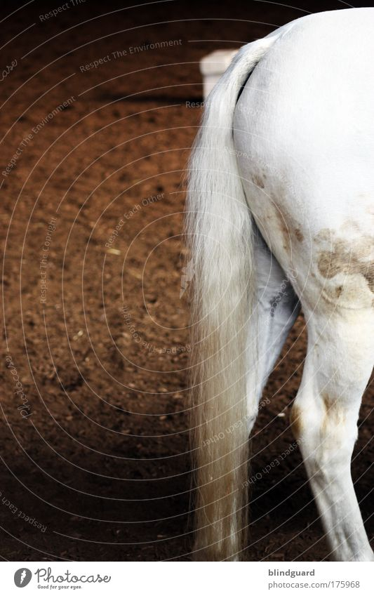 Horseback weiß Tier Beine braun dreckig elegant Pferd Gesäß Hinterteil Schimmel Fleck Haustier Schwanz Reiten Oberschenkel Nutztier