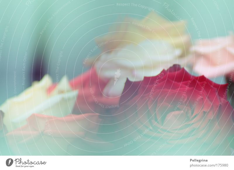 türkis Blume Blüte Stimmung Nebel Rose