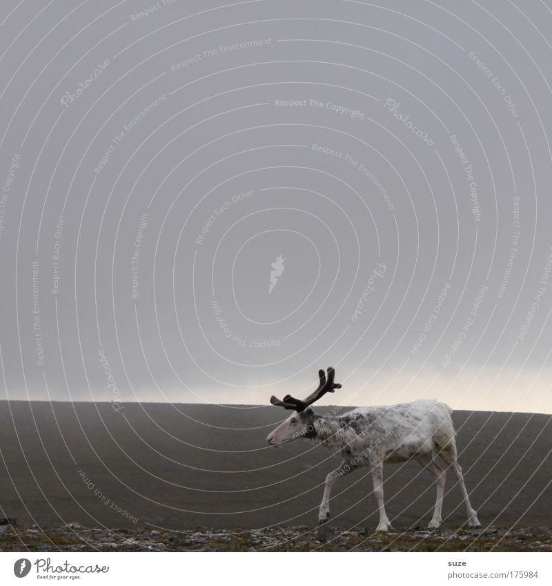 Norweger Natur Pflanze Landschaft Tier Ferne Umwelt Bewegung grau Nebel Wildtier wandern frei laufen Klima niedlich Horn