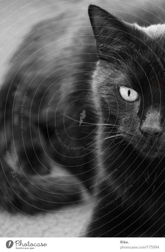 Möchtegern- Panther. Schwarzweißfoto Innenaufnahme Nahaufnahme Menschenleer Textfreiraum links Tag Silhouette Sonnenlicht Zentralperspektive Tierporträt