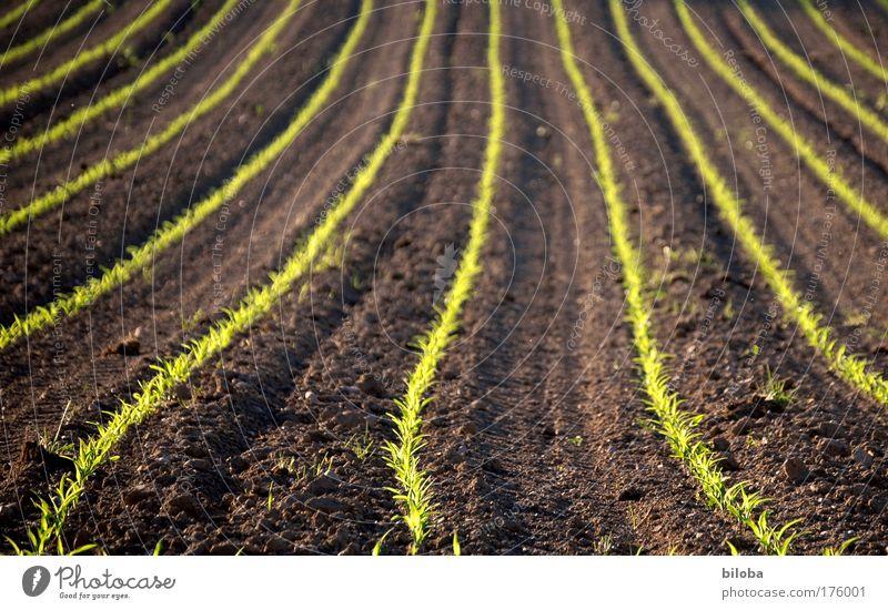 Oekologisches Wachstum Natur grün Pflanze Sommer Landschaft Zufriedenheit braun Feld Landwirtschaft Wetter Umwelt Erde Klima Kultur Ernte