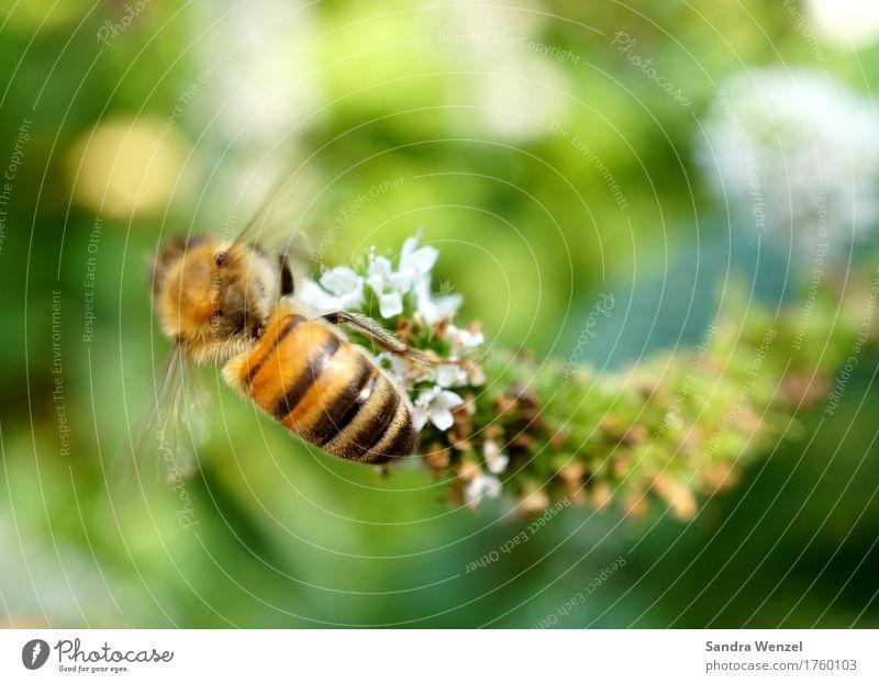 Fleißiges Bienchen Honig Honigbiene Gesundheit Sommer Garten Imker Imkerei Pflanze Blume Blüte Kräuter & Gewürze Kräutergarten Park Biene Bienenstock 1 Tier