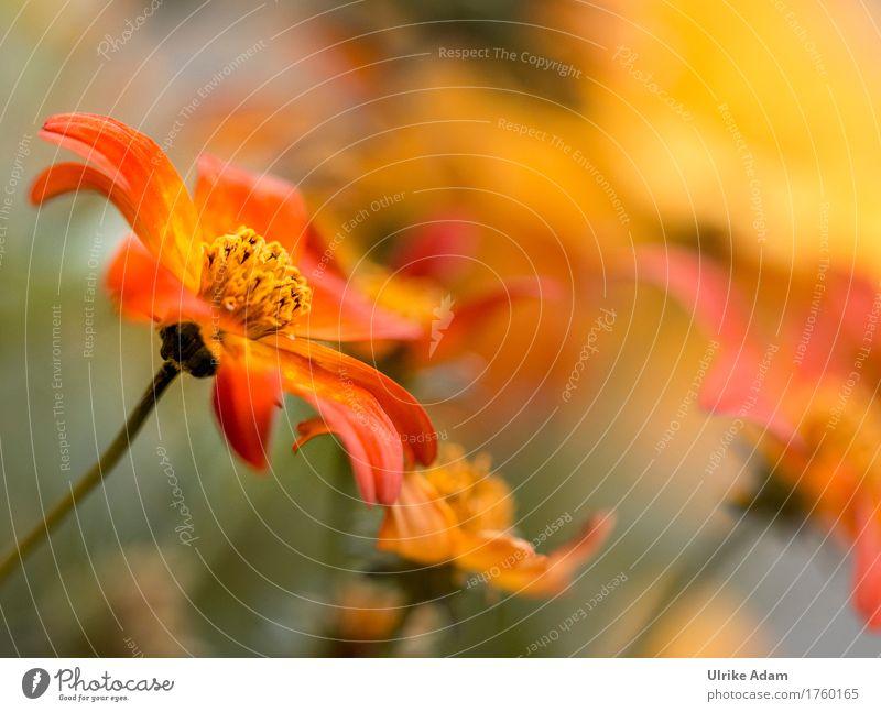 Orange Kosmeen (Cosmos) Garten einrichten Innenarchitektur Dekoration & Verzierung Tapete Poster Bild Leinwand Fotografie Erntedankfest Natur Pflanze Sommer