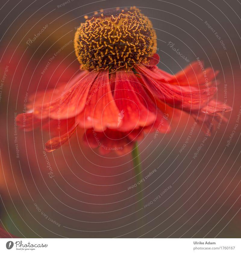 Spätsommer Impressionen Natur Pflanze Sommer Blume rot Wärme Blüte Herbst Garten Design Park Dekoration & Verzierung elegant Blühend Warmherzigkeit weich