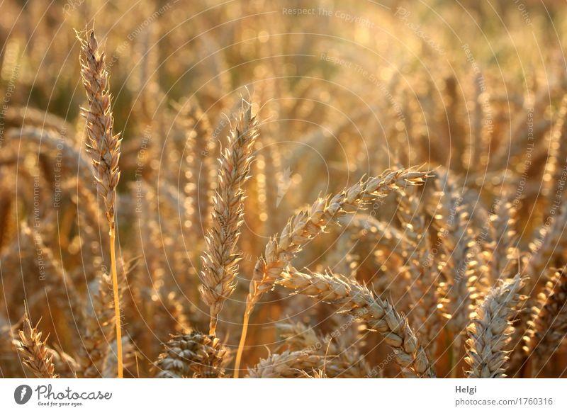 goldig leuchtend... Lebensmittel Getreide Weizen Umwelt Natur Landschaft Pflanze Sommer Schönes Wetter Nutzpflanze Feld stehen Wachstum authentisch