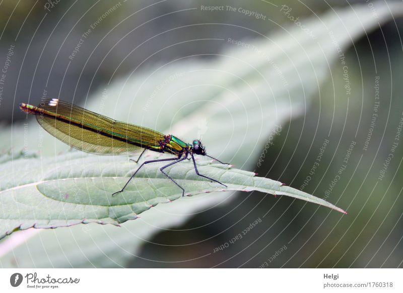 grüne Prachtlibelle Natur Pflanze Sommer schön Blatt Tier Umwelt Leben natürlich klein Freiheit grau ästhetisch stehen einzigartig