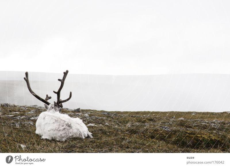 Rudolph Senior Natur weiß Landschaft ruhig Tier Umwelt Wiese Gras grau liegen Nebel trist Wildtier warten einfach Pause