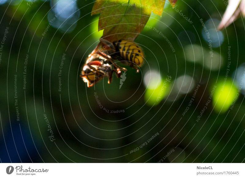 Hornisse nach der Jagd Natur Tier Tiergesicht Flügel Hornissen 1 Essen fliegen hängen Aggression bedrohlich klein wild gelb schwarz Kraft gefährlich gefräßig