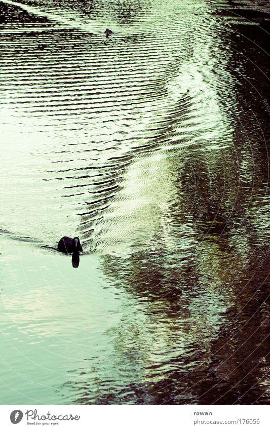 enten Farbfoto Gedeckte Farben Außenaufnahme Tag Tier Ente 2 Tierpaar Wellen Wasser Teich See Vogel ruhig Im Wasser treiben Schwimmen & Baden