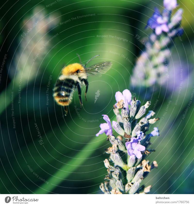 klangfarbe | bssssssssssss Natur Pflanze Tier Sommer Herbst Schönes Wetter Blume Blatt Blüte Lavendel Garten Park Wiese Wildtier Biene Flügel Hummel 1 fliegen