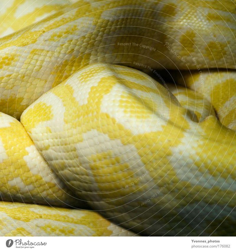 Schlangenlinien Natur Tier gelb Angst Umwelt Erde Feuer gefährlich bedrohlich liegen Zoo Wildtier Leder Todesangst
